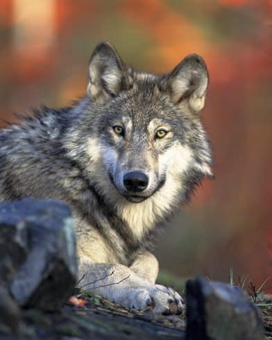 Immerse yourself in the environment that surrounds you and found out, accompanied by a wildlife guide, the attitude of our new neighbor: the Wolf!